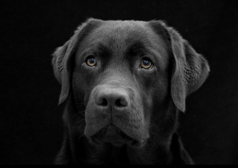 Image of a Labrador Guide Dog